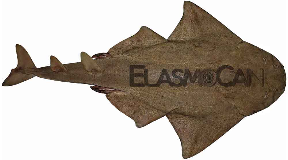 Male specimen of the common angelshark or monkfish (Squatina squatina) from the Canary Islands – ElasmoCan.