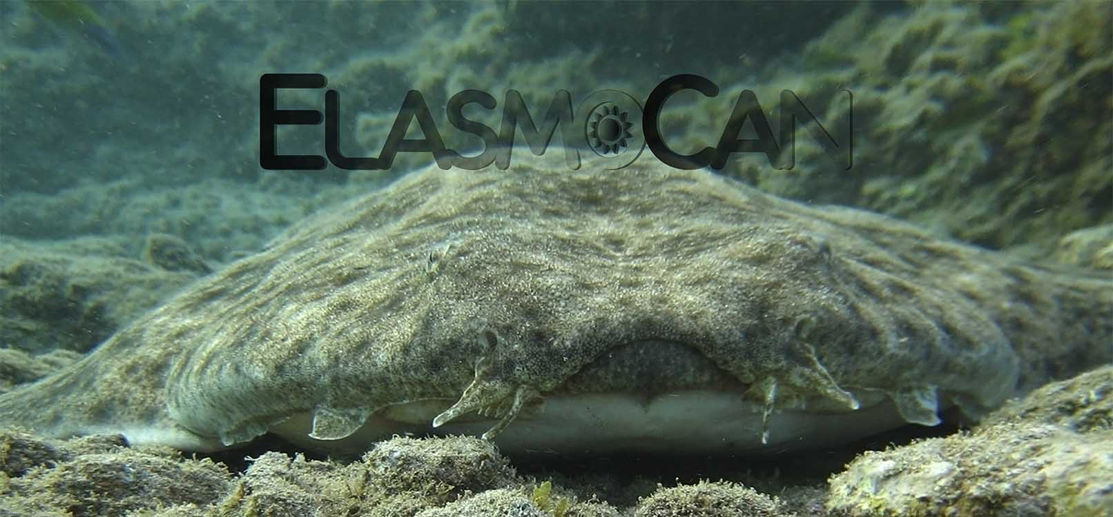 ElasmoCan_Angel-shark_Squatina-squatina