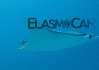 ElasmoCan: Manta - Maroma - Giant devilray - Adelaarsrog (Mobula mobular)