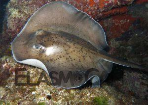 Investigación del uso de habitat de los tiburones y rayas por ElasmoCan - Chucho negro (Taeniurops grabata)