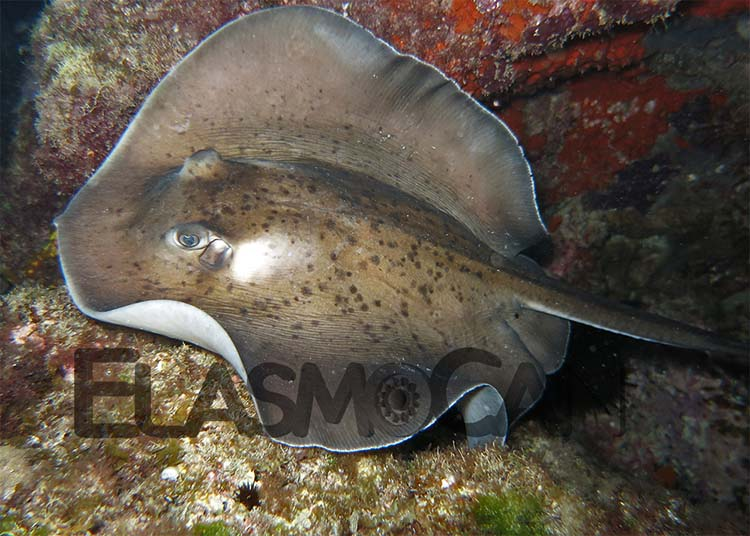 Research of habitat use by ElasmoCan - The fantail stingray Taeniurops grabata