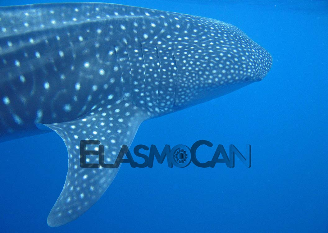Lineas de investigación por ElasmoCan - Tiburón ballena (Rhincodon typus)