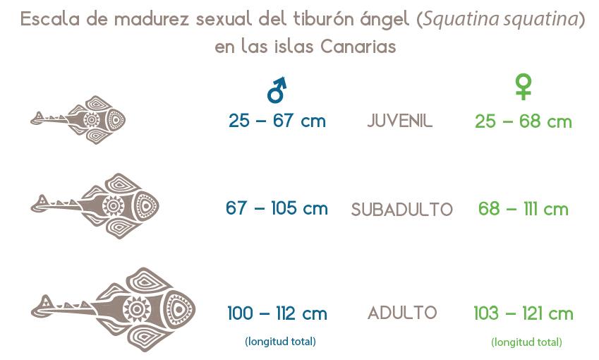 Escala de madurez sexual del angelote (Squatina squatina) en las islas Canarias