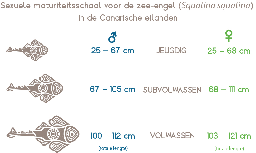 Seksuele maturiteitsschaal voor de engelhaai of zee-engel (Squatina squatina) in de Canarische eilanden