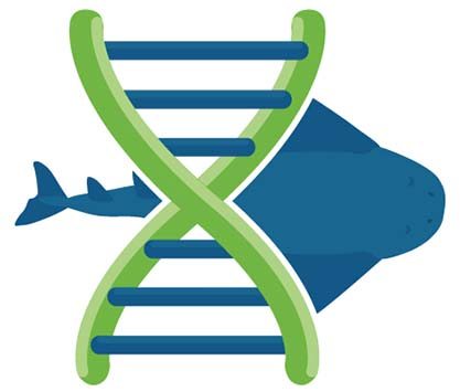 Genetic exploration of the angelshark (Squatina squatina) to determine the population dynamics and genetic diversity from different populations.