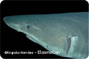 Elasmobranch species in the Canary Islands: smalltooth sand tiger shark (Odontaspis ferox); photo credit Krupskaya Narváez