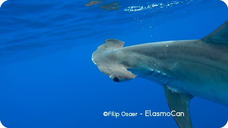 El tiburón martillo liso o cornuda cruz (Sphyrna zygaena); crédito de foto Filip Osaer