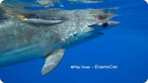 Marcaje de un tiburón martillo liso o cornuda cruz (Sphyrna zygaena); crédito de foto Filip Osaer – ElasmoCan.