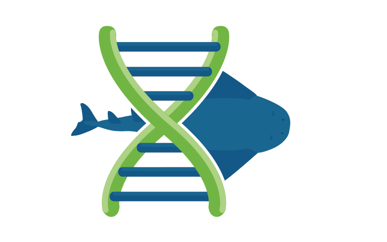 Angelshark genetic conservation study – ElasmoCan