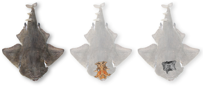 Illustration of the partial angelshark braincase (right) discovered in Belgium; source Frederik Mollen, Elasmobranch Research, Belgium
