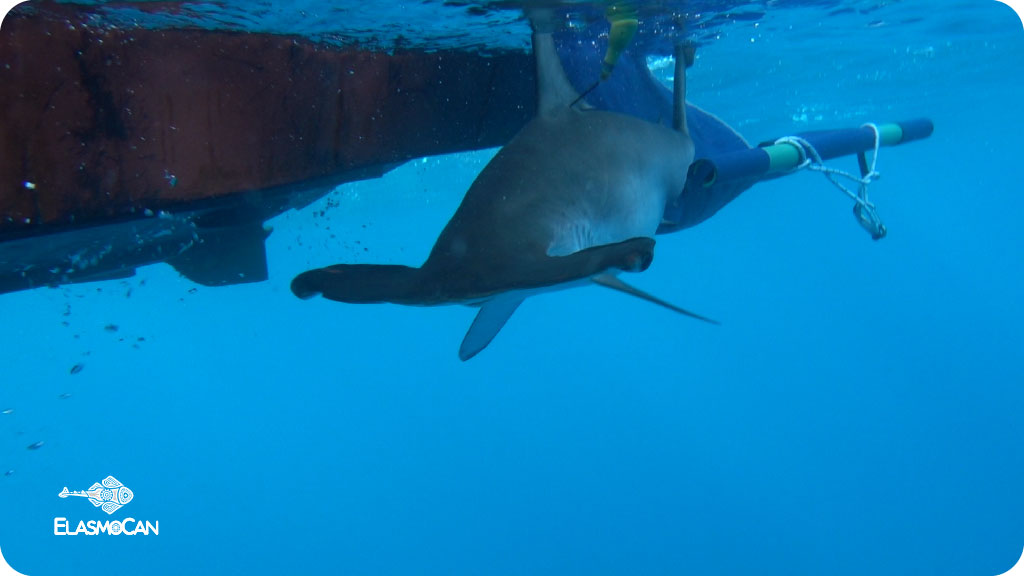 "The first shark tagged with a satellite device in the Canary Islands starts its voyage north of the Special Area of Conservation from the marine NATURA 2000-network ""Sebadales de Playa del Inglés"". Scientists from ElasmoCan realize this telemetry study to know the movements of hammerhead sharks in the Canaries, finally contributing to their conservation. Photo credit: Filip Osaer – ElasmoCan."