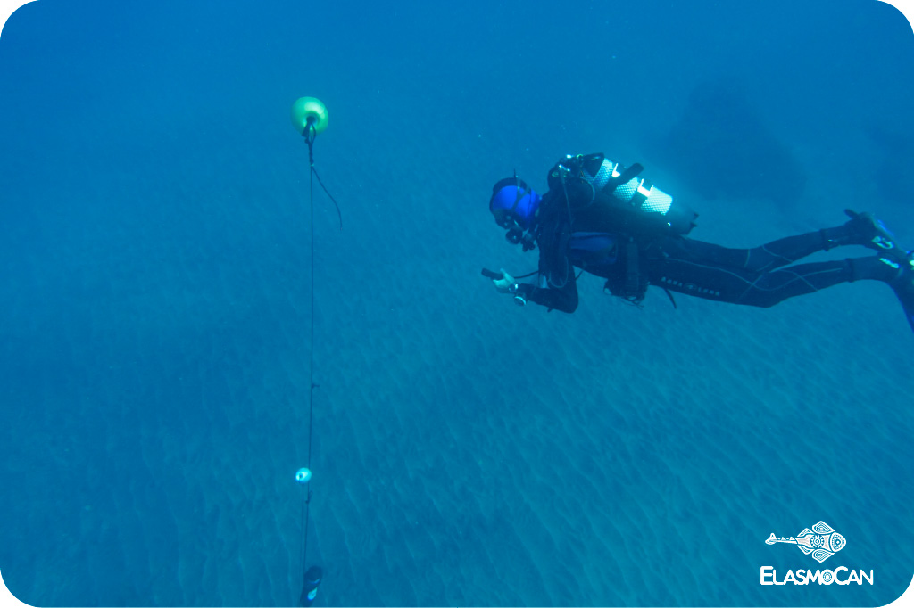 Scientists from ElasmoCan during the tests with acoustic telemetry systems in 2017 in the bay of Sardina del Norte (Gáldar, Gran Canaria, Canary Islands) with loan equipment from the manufacturers LOTEK y VEMCO. Picture credit: Krupskaya Narváez – ElasmoCan.