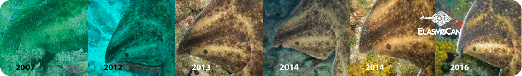 An adult angelshark resighted over more than 9 years in the same location – ElasmoCan
