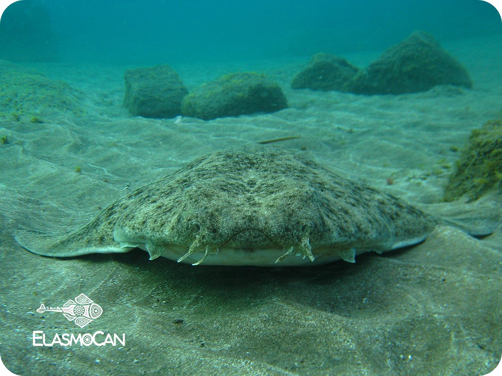 An angelshark Squatina squatina resting on the sand bottom in Sardina del Norte (Gáldar, Gran Canaria, Canary Islands). Picture credit: Krupskaya narváez – ElasmoCan.